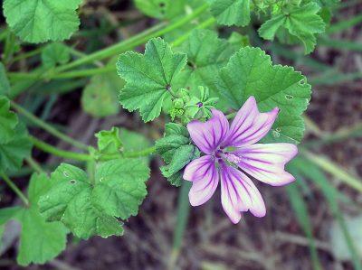 Malva fiori e foglie